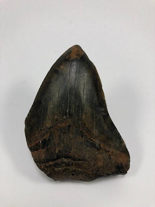 "3.74"" Bargain Fossil Megalodon Shark Tooth"