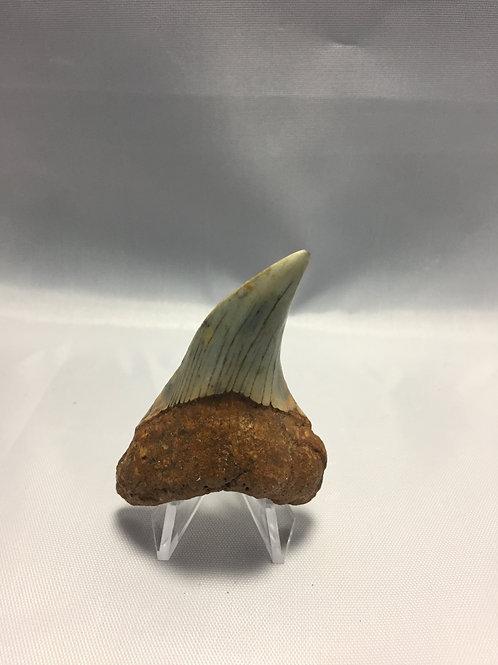 "2.84"" Fossil Benedini Shark Tooth"