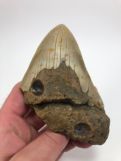 "5.44"" Fossil Megalodon Shark Tooth"