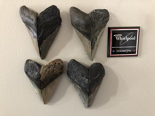 Fossil Megalodon Shark Tooth Refrigerator Magnet Ocean Teeth