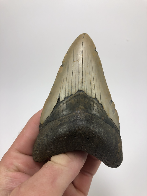 """4.58"""" Lower Fossil Megalodon Shark Tooth"""