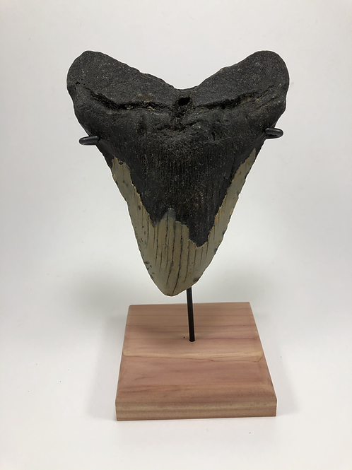 "5.52"" Giant Fossil Megalodon Shark Tooth Ocean Teeth- **On Inverted Me"