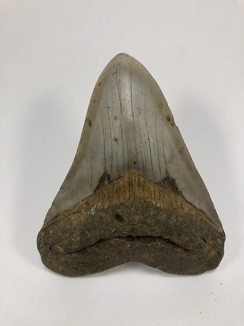 """4.31"""" Fossil Megalodon Shark Tooth"""
