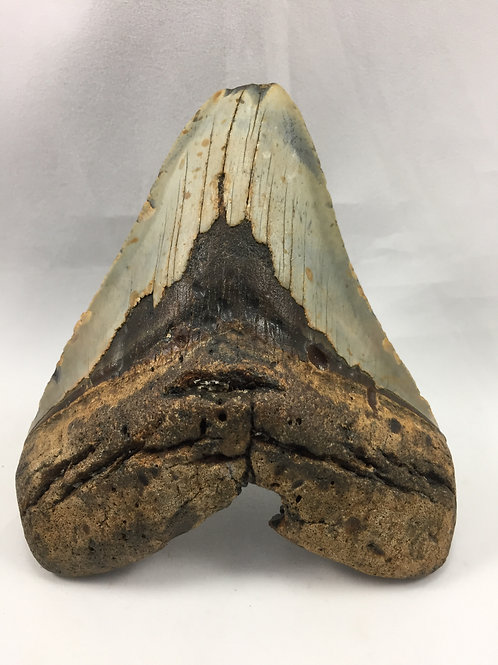 """5.32"""" Holy Fossil Megalodon Shark Tooth"""