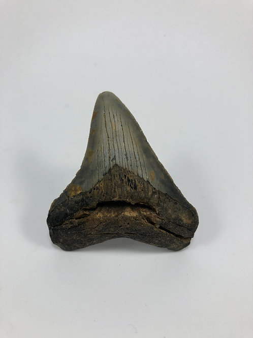"3.02"" Fossil Megalodon Shark Tooth"