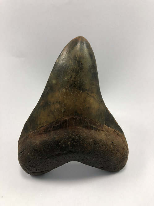 "3.56"" Colorful Fossil Megalodon Shark Tooth"