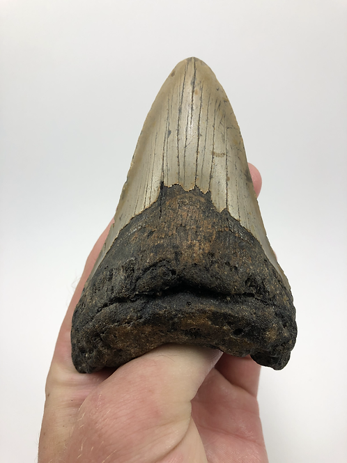 "4.64"" Fossil Megalodon Shark Tooth"