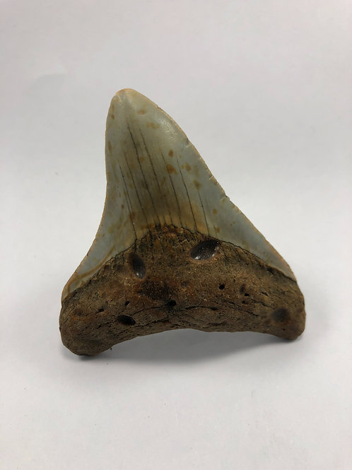 "3.19"" Fossil Megalodon Shark Tooth"