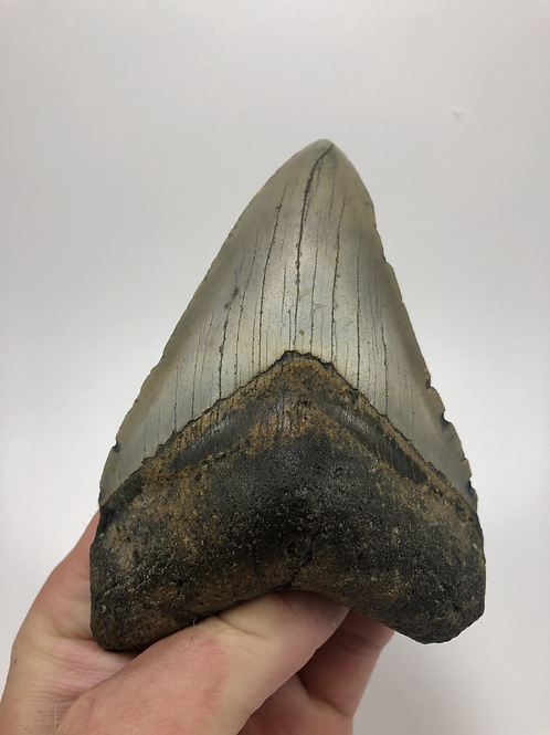 """4.95"""" Fossil Megalodon Shark Tooth"""
