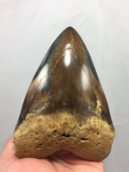 "5.86"" Diamond Polished Fossil Megalodon Tooth"
