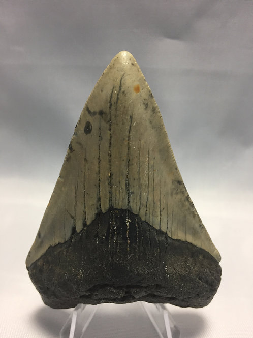 "3.8"" Fossil Megalodon Shark Tooth"