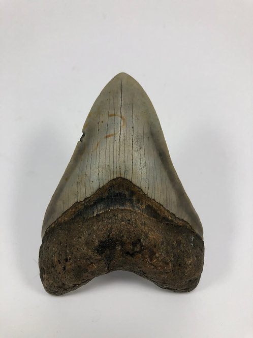 "3.96"" Nice Fossil Megalodon Shark Tooth"