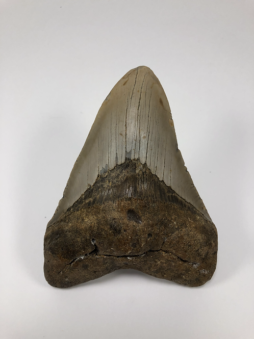 "4.81"" Fossil Megalodon Shark Tooth"