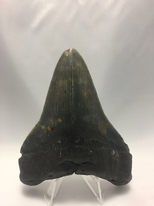 "4.39"" Serrated Fossil Megalodon Shark Tooth"