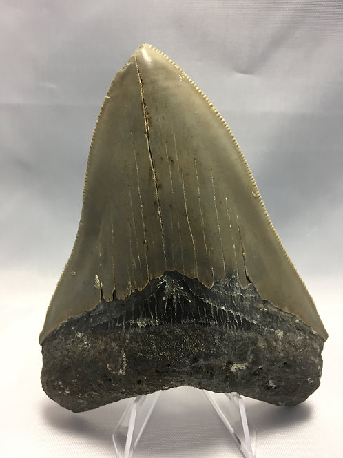 """4.69"""" Sharply Serrated Fossil Megalodon Tooth"""
