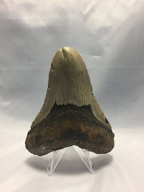 "4.15"" Rare Double Tipped Fossil Megalodon Shark Tooth"