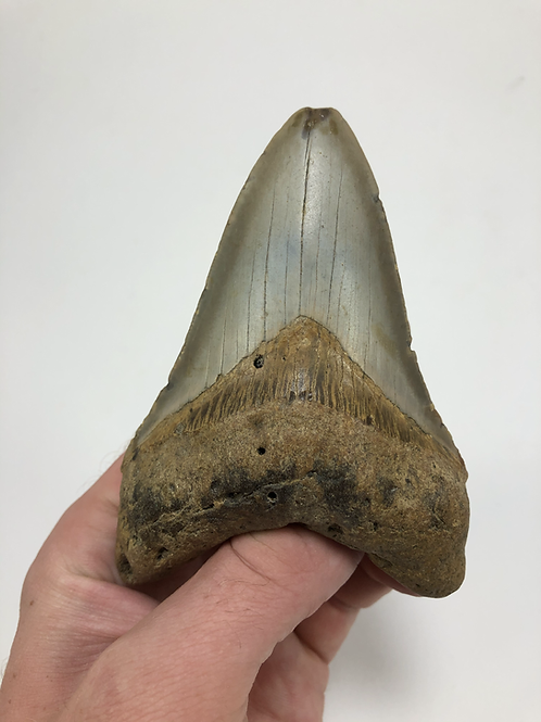 """4.43"""" Fossil Megalodon Shark Tooth"""
