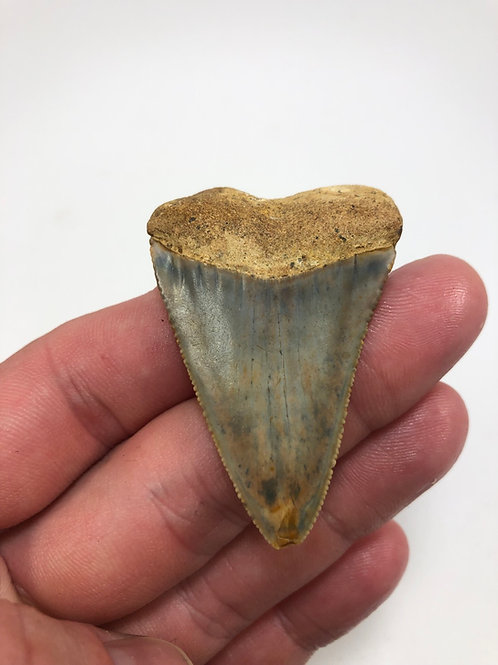 """2.18"""" Fossil Great White Shark Tooth"""