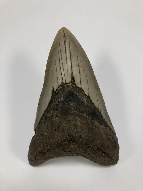 "4.22"" Lower Fossil Megalodon Shark Tooth"