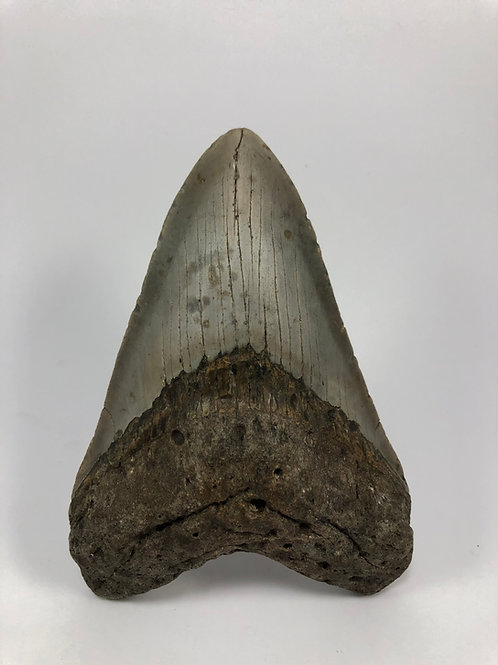 """5.43"""" Fossil Megalodon Shark Tooth"""