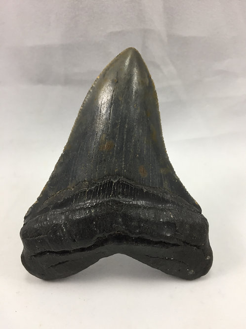"3.29"" Fossil Megalodon Shark Tooth"