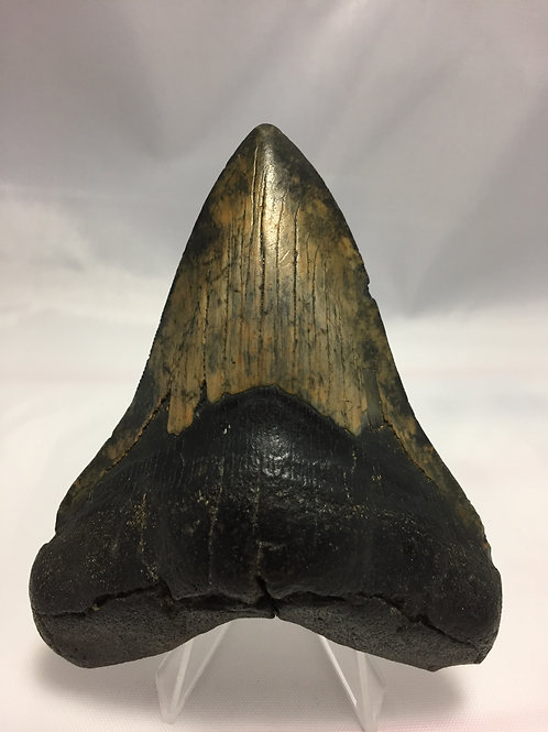"""3.98"""" Fossil Megalodon Shark Tooth"""