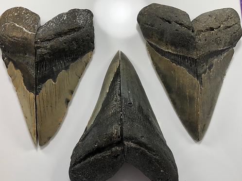 "Large XL 5""+ Oversize Fossil Megalodon Shark Tooth Refrigerator Magnet Ocean Tee"