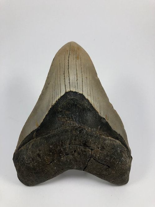 "5.54"" Fossil Megalodon Shark Tooth"