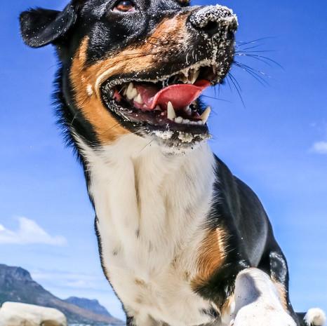Boss Dog: Remy