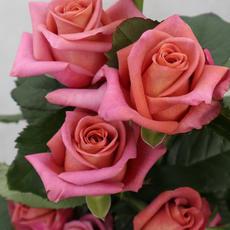 Rose Barista *NEU*