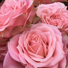 Rose Country Spirit Girl