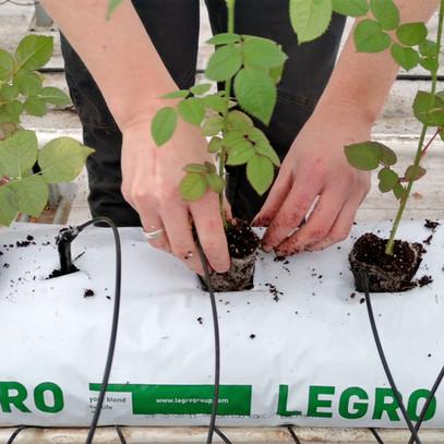 Pflanzung von Hand