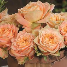Rose Country Spirit Louise