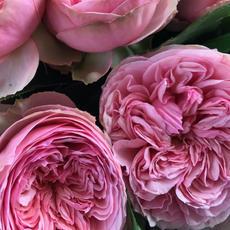 Rose Pride of Jane
