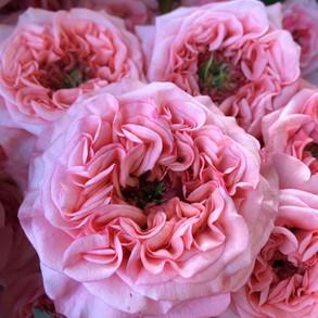 Rose New Design