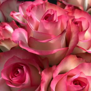 Rose Jumilia