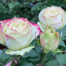 Rose Apple Jack