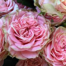Rose Country Spirit Coral Girl