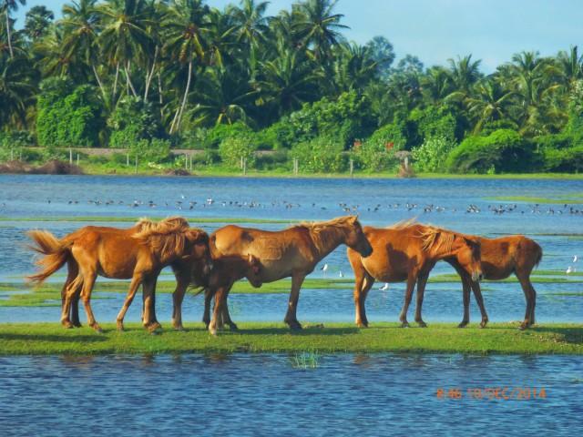 wild-horses-3-2 2014 Dec Mannar Island