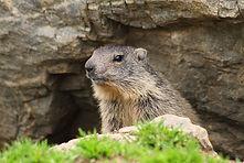 Marmotte_Gavarnie.jpg
