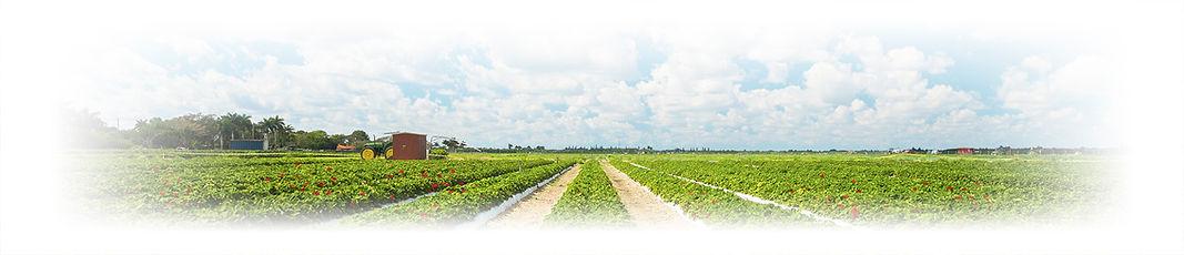campo con frutillas.jpg
