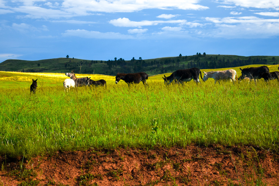 Burros in a Line