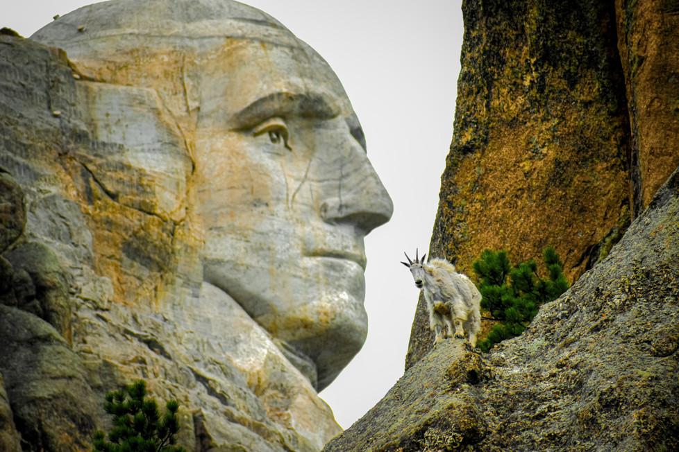 Goat on Mount Rushmore
