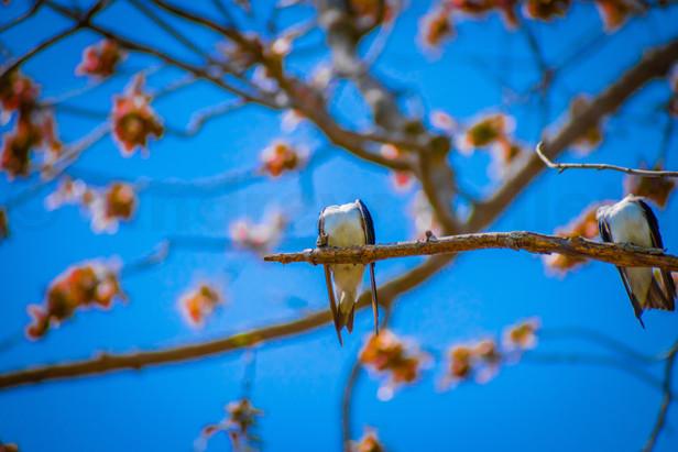 Headless Swallows