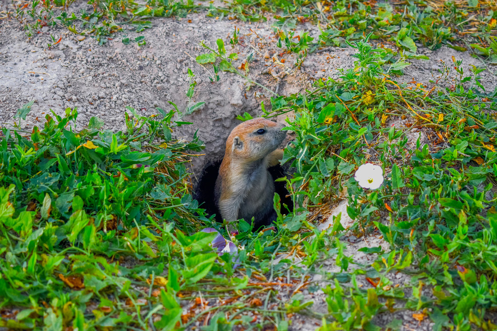 Sniffing Gopher