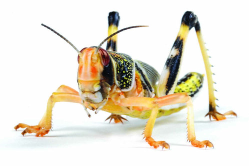 Locusts - Extra Large - 5ths (36 -42mm)