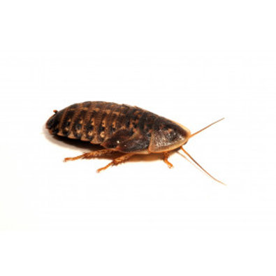Dubia Roaches, 25-30mm, 6 Pack