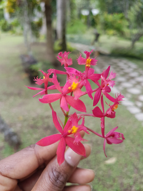 Wild pink orchid