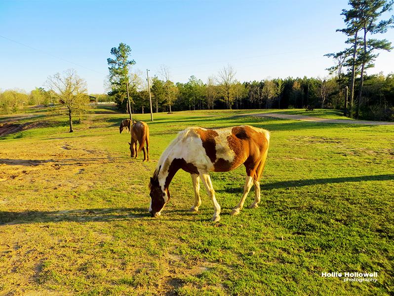 A few Foxfire Horses