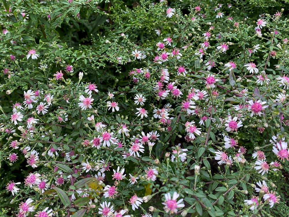 Herfstaster (Aster lateriflorus 'Horizontalis') - een vrolijke plant die veel hommels aantrekt